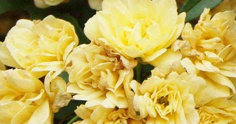 กุหลาบสุพรรณวดี (Yellow Banksia Rose)