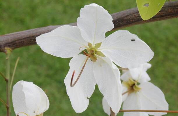 คูนดอกขาว