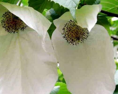 พิลาปขาว (Chinese dove tree,  Handkerchief tree)