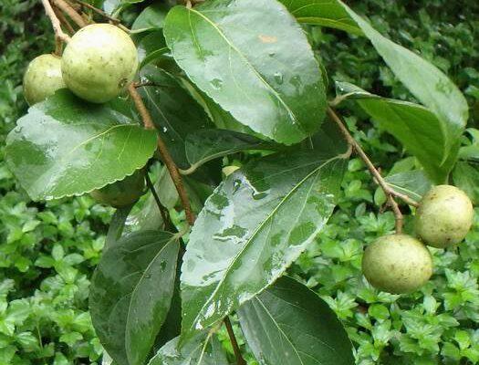 ตะขบไทย (Indian plum)