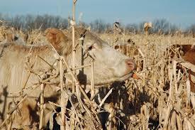 นโยบายตลาดนำการผลิต กรณีข้าวโพดเลี้ยงสัตว์