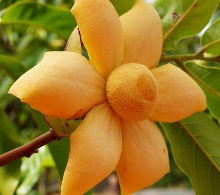 Uvaria grandiflora var