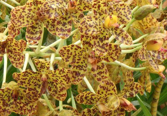 ว่านเพชรหึง (Tiger orchid)